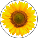 Sunflower_L