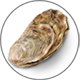 Oyster_Auster